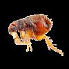 Pests - Fleas