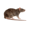 Pests - Rats